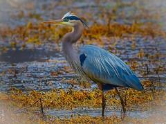 Great Blue Heron (George McHenry Photography) Tags: birds waterfowl herons greatblueheron southcarolina southcarolinabirds