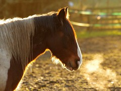 horse sunset back light (3) (Simon Dell Photography) Tags: uk garden brown nature wildlife simon dell photography sheffield shirebrook valley views horse silhouette s12 hackenthorpe 2018