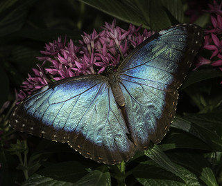 Blue Morpho Butterfly On Pink Flowers