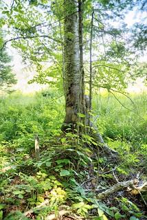 Adirondack Forest Walk 21