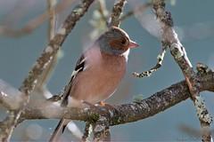 Pinson des arbres_1883 (Luc Barré) Tags: gros bec casse noyaux grosbeccassenoyaux garden jardin bird birds