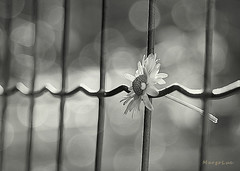 Trapped in the Bokeh ... (MargoLuc) Tags: daisy fence white petals bokeh monochrome wintertime sign spring bw sunlight cold days