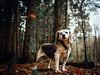 No Graffiti in my Woods! (chriswenning) Tags: gx80 gx85 beagle forrest graffiti dog winter evergreen 20mm17