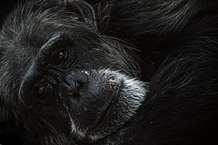 Chimp (bryanlotz) Tags: ape chimp karlsruhe zoo affe natur nature cage käfig tier schimpanse animal animalhead oneanimal
