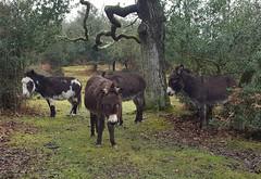 Donkeys (Clare_leeloo) Tags: donkeys newforest mammals