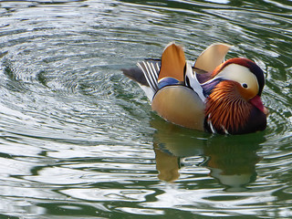 Mandarin Duck (Explored 02/02/2018)