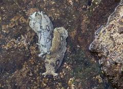 Sea-hares_1308 (Peter Warne-Epping Forest) Tags: seahares atlantic tenerife seaslugs nudibranch invertebrate marine