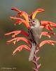 Bushtit (m) in Chasmanthe floribunda (Bob Gunderson) Tags: birds bushtit california fortmason northerncalifornia psaltriparusminimus sanfrancisco chasmanthefloribunda adamsrib