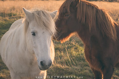 Shy Guy (Mike Ver Sprill - Milky Way Mike) Tags: white horse icelandic horses brown shy guy gal girl boy male female beautiful pony farmland farm countryside country travel animals gorgeous sunset