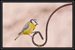 """Blue Tit... Hanging On a Song..."" (NikonShutterBug1) Tags: nikond7100 tamron70300mm birds ornithology wildlife nature spe smartphotoeditor birdfeedingstation bokeh birdsfeeding bluetit"