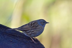 edge sparra (_J @BRX) Tags: dunnock hedgesparrow sparrow rspb leightonmoss january2018 lancashire england uk winter bird nikon d5200