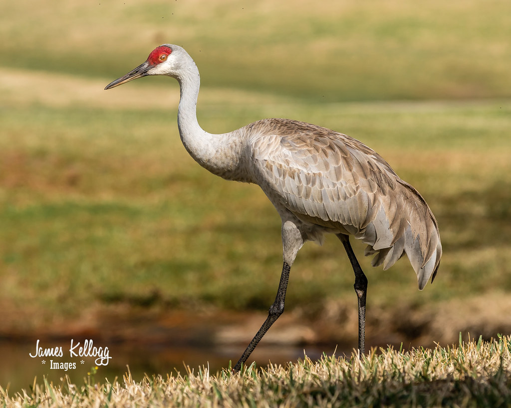 sandhill big and beautiful singles The omnivorous sandhill crane feeds on land or in shallow marshes where plants grow out of the water, gleaning from the surface and probing with its bill its diet is heavy in seeds and.