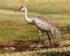 Sandhill cranes in Florida (James Kellogg's Photographs) Tags: sand hill sandhill crane big bird red head redhead beautiful cute elkton golf club st johns course pond green strut strutting eating