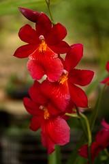 Orchidea (dona(bluesea)) Tags: orchidea orchid ortobotanico botanicalgarden palermo sicilia sicily