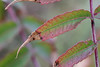 Sumac Leaflets (peterkelly) Tags: digital canon 6d ontario canada northamerica peleeisland stoneroadalvar ontarionaturereserve naturereserve ontarionature alvar leaf leaflet sumac red green bush shrub
