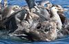 Giant Petrels feeding on a dead penguin (Med Gull) Tags: antarctic zegrahm cruise salisbury plain south georgia salisburyplain southgeorgia giant petrel giantpetrel