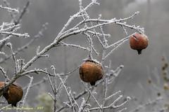 Grenades Givrées (Jean-Pierre Verduzier) Tags: automne gelgivreglace givre grenadesgivrées grenades gel hiver gelée froid saison nature fruit