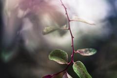 (cara zimmerman) Tags: plants freelensing helios garfieldpark garfieldparkconservatory