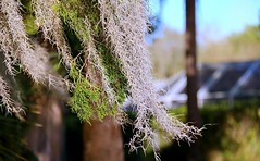 Spanish Moss on an Evergreen (Chris C. Crowley- Busy for a week or two!) Tags: spanishmossonanevergreen spanishmoss bromiliad plant airplant hanging evergreen florida foliage