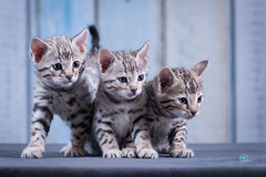 The Silver Kitten Gang (Andreas Krappweis - thanks for 2,9 million views!) Tags: bengal bengals kitten snow silver snowbengals silverbengals three 3 rosetted bengalcat purebreed indoor domesticcat cats cute funny attentive looking home breeding nikond700 afsnikkor80200mm128d