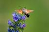 Taubenschwänzchen (Macroglossum stellatarum) (AchimOWL) Tags: schmetterling insekt insect tier tiere animal makro macro outdoor pflanze blume dmcgh5 gh5 natur nature lumix panasonic nachtfalter postfocus ngc macrodreams schärfentiefe wildlife taubenschwanz karpfenschwanz schwärmer sphingidae fauna kolibrischwärmer wanderfalter taubenschwänzchen