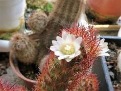 Cactus flowering / 紅金司 (takoyu) Tags: cactus 紅金司