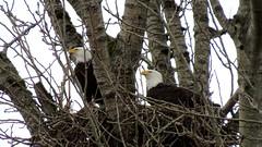 Mom and Dad (shesnuckinfuts) Tags: americanbaldeagle haliaeetusleucocephalus baldeagle nest kentwa shesnuckinfuts february2018 nature wildlife bird eagle matedpair riverbendeagles