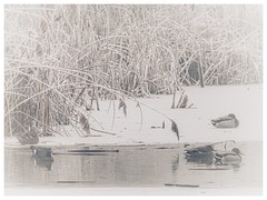Sleeping ducks (voyageurrr) Tags: neige snow picture image photo view иней наст снег белый картина фотография вид сон стужа декабрь январь природа мороз холод зима птицы oiseaux canards sleeping froid décembre blanco blanc hiver winter janvier january white december inferno natura birds nature frost cold ducks