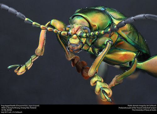 Frog-legged beetle (Chrysomelidae, sagra buqueti)