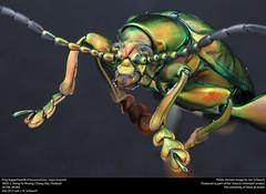 Frog-legged beetle (Chrysomelidae, sagra buqueti) (insectsunlocked) Tags: chrysomelidae beetle insects insectsunlocked jenthebird thailand thailandbeetles sagra sagrabuqueti thailandfrogleggedbeetle frogleggedbeetle