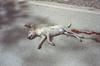 Patay na Aso, Palawan 2017 (Sly Panda) Tags: slypandacouk sly dog dead roadkill philipines travel fresh death muerto patay aso palawan 35mm film yashica