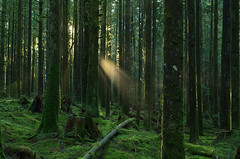 Forests of January (Kristian Francke) Tags: forest wilderness outdoors nature sun sunbeams sunray landscape bc canada winter pentax january green wood woods woodland