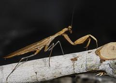 4-El color del adulto lo determina el del medio en el que habita durante su última muda (por ejemplo, amarillo, si se trata de paja seca, o verde, si es hierba fresca).  Es el único animal conocido que cuenta con un único oído, y lo tiene en el torax! (Cimarrón Mayor 14,000.000. VISITAS GRACIAS) Tags: kingdomanimalia phylumarthropoda classinsecta ordermantodea familymantidae subfamilystagmomantinae genusstagmomantis lugardecapturaislabeata repdominicana dominicanrepublic quisqueya repúblicadominicana caribe républiquedominicaine caraïbes caraibi repubblicadominicana dominikanischerepublik karibik karaiby dominikana dominikarerrepublika karibe dominikanskerepublik caribien dominikanskerepublikk karibien доминиканскаяреспублика карибскийбассейн cimarrónmayor panta pantaleón josémiguelpantaleón objetivo500mm telefoto700mm 7dmarkii canoneos canoneos7dmarkii naturaleza libertad libertee libre free fauna dominicano montañas
