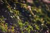 ILCE-7M2-09865-20180116-1019 // Minolta MD Tele Rokkor-X 135mm 1:2.8 (Otattemita) Tags: 135mmf28 florafauna minolta minoltamdmdiitelerokkorx135mmf28 rokkor rokkorx fauna flora flower nature plant wildlife minoltamdtelerokkorx135mm128 sony sonyilce7m2 ilce7m2 135mm cnaturalbnatural ota