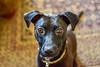 Squiggy (thatSandygirl) Tags: black pet dog animal portrait whippet labrador mix eyes shiny ears whippedor whipador