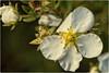 floriferous (Heinze Detlef) Tags: blüte blume pflanze pollen blüten makro macro natur frühling feuerwerk blühfreudig flower