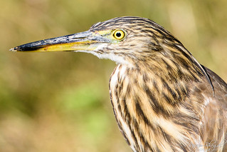 Pond Heron Close-up (PB2_2359)