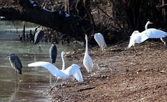 Herons and Egrets Gathering 003 (Val Hightower) Tags: greatblueheron heron whiteegret egret bellslough slough bell lakeconway conway mayflowerarkansas mayflower arkansas