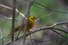Yellowhammer (krystennewby) Tags: bird chaffinch wildlife nature winter thrush british suffolk yellowhammer finch bunting