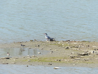 Common Tern & Semipalmated Plover