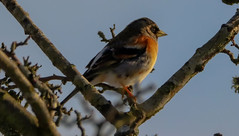 Brambling (xDigital-Dreamsx) Tags: bird nature naturephotography wildlife migration winter countryside rural