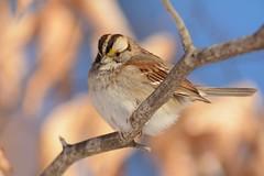 White-throated Sparrow (JDA-Wildlife) Tags: birds nikon tamronsp150600mmf563divc jdawildlife johnny portrait closeup eyecontact sparrows sparrowwhitethroated whitethroatedsparrow nikond7100 wow composition