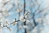 梅の花 (YUSHENG HSU) Tags: plum blossom bloom flower floral taipei taiwan winter spring natural nature macro closeup plant flora botany botanical beauty material background backdrop beautiful elegant white 梅 うめ 梅の花 花梅 花 フラワー フローラル 植物 春 ウメ 早春 花びら 自然 白梅 お花 背景 美しい 咲く ナチュラル クローズアップ アップ 満開 コピースペース バックグラウンド 白色 素材 背景素材 テクスチャ マクロ bg 接写 バッググラウンド 綺麗 台北 台北市 台湾 冬 植物学 美容 ビューティー 美人 材料 原材料 バックグランド きれい エレガント 優雅な 白い ホワイト 白