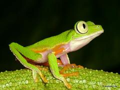 Agalychnis hulli (Ecuador Megadiverso) Tags: agalychnishulli amazon amphibian andreaskay anura ecuador frog hylidae hylomantishulli puyo rainforest tamanduareservaflores treefrog
