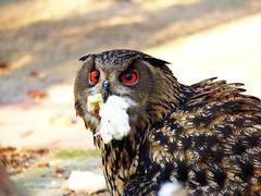 "Uhu mit ""Beute""... (libra1054) Tags: uhu buhobuho gufo eagleowl búho coruja hibougrandduc rapaces rapaci raptors greifvögel aves uccelli oiseaux birds vögel birdsofprey"