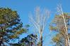 Backyard Trees. (dccradio) Tags: lumberton nc northcarolina robesoncounty outdoors outside trees tree greenery pine evergreen sky bluesky nature natural landscape nikon d40 dslr branch treebranches branches treelimbs sticks