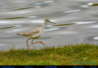 LESSER YELLOWLEGS Tringa flavipes Walking Beside Laguna Limpiopungo at Volcán Cotopaxi in Northern Ecuador. Photo by Peter Wendelken.