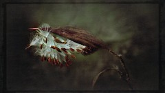 Flight Into The Breeze (Christina's World-) Tags: nature artistic antique faded plant flower milkweed seedpods seeds dark garden pods brown butterfly green