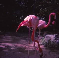 Aquarena Springs - July 1977 (Stabbur's Master) Tags: texas lonestarstate aquarenasprings 1970s flamingos themepark amusementpark sanmarcostx texashillcountry hillcountry