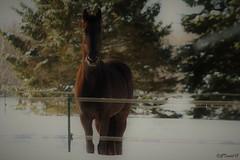 Pelage d'hiver (granule19) Tags: hiver horse cheval winter